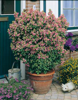 Fuchsia Jubilee (wit- roze)