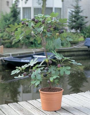 Ficus Carica (Vijg)