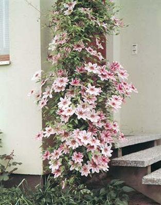 Clematis Bicolor roze-wit