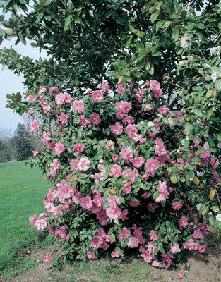 Camellia roze