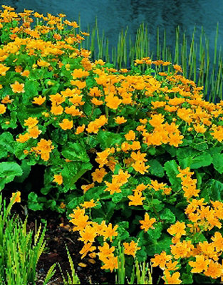 Caltha (Dotterbloem) geel