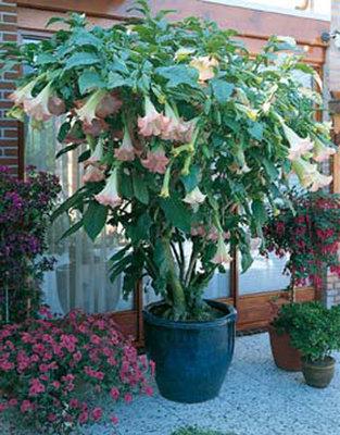 Brugmansia roze