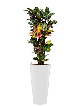 Croton (codiaeum) petra incl pot Style wit