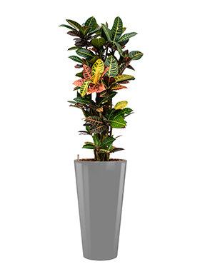 Croton (codiaeum) petra incl pot Style zilver