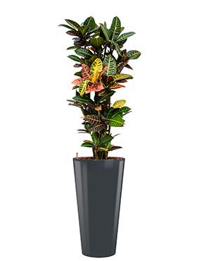Croton (codiaeum) petra incl pot Style antraciet