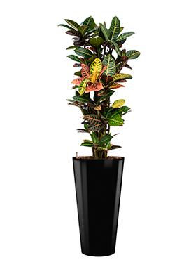 Croton (codiaeum) petra incl pot Style zwart