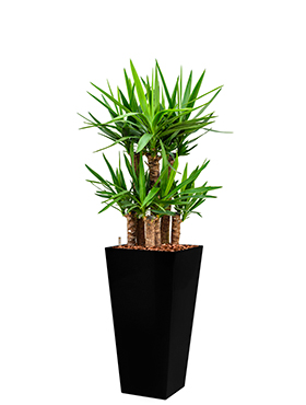 Yucca elephantipes incl pot Style Square zwart