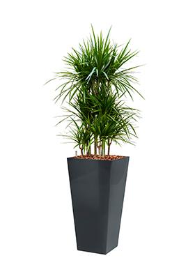Dracaena marginata incl pot Style Square antraciet