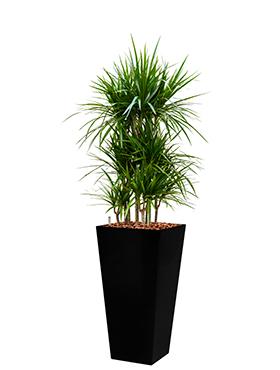 Dracaena marginata incl pot Style Square zwart