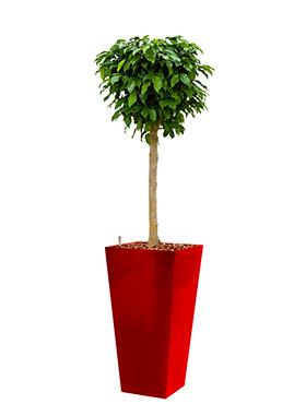Ficus benjamina columnar incl pot Style Square rood