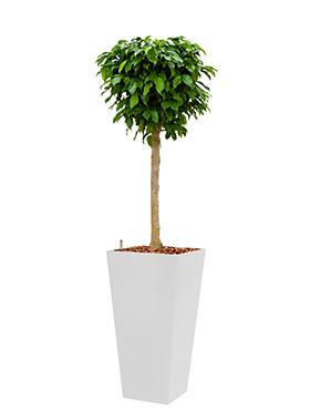 Ficus benjamina columnar incl pot Style Square wit