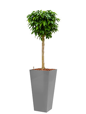 Ficus benjamina columnar incl pot Style Square zilver