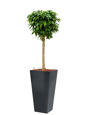 Ficus benjamina columnar incl pot Style Square antraciet