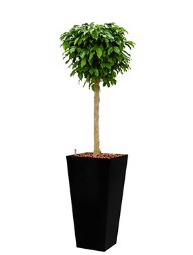 Ficus benjamina columnar incl pot Style Square zwart