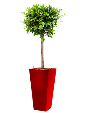 Ficus nitida  incl pot Style Square rood