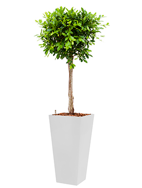 Ficus nitida incl pot Style Square wit