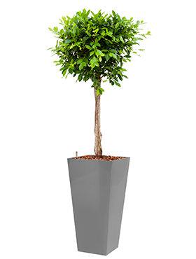 Ficus nitida  incl pot Style Square zilver