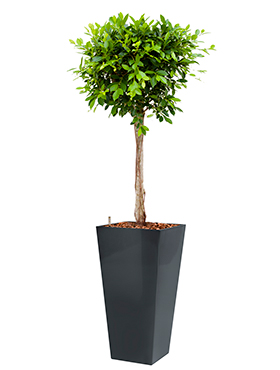 Ficus nitida incl pot Style Square antraciet