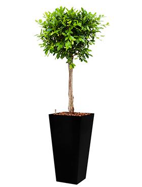 Ficus nitida incl pot Style Square zwart