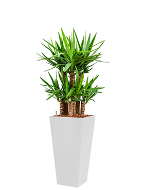 Yucca elephantipes incl pot Style Square wit