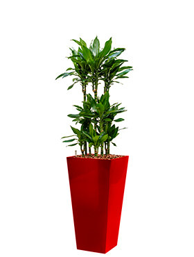 Dracaena janet lind incl pot Style Square rood