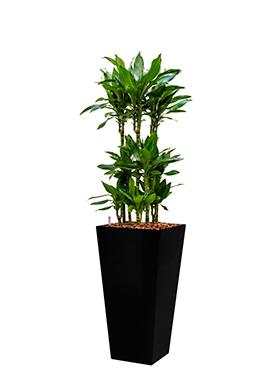 Dracaena janet lind incl pot Style Square zwart