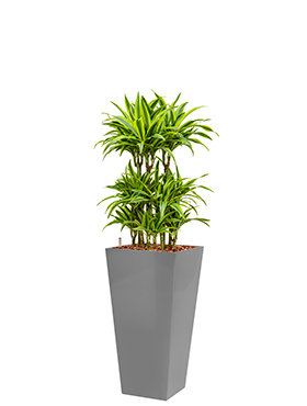 Dracaena lemon lime incl pot Style Square zilver