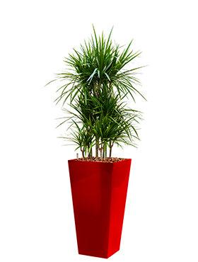 Dracaena marginata incl pot Style Square rood