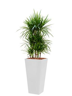 Dracaena marginata incl pot Style Square wit