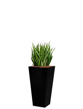 Sansevieria kirkii incl pot Style Square zwart