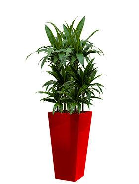 Dracaena janet craig incl pot Style Square rood