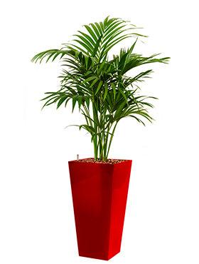 Kentia (howea) forsteriana incl pot Style Square rood