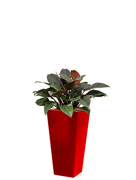 Philodendron imperial red incl pot Style Square rouge