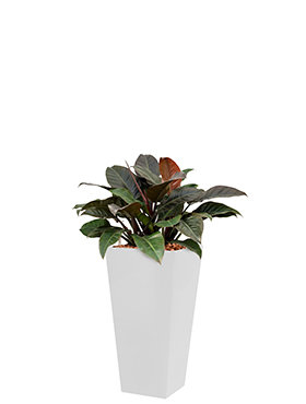 Philodendron imperial red incl pot Style Square wit