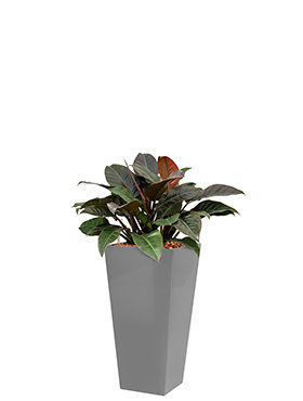 Philodendron imperial red incl pot Style Square zilver