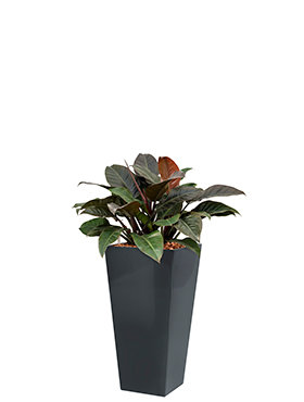 Philodendron imperial red incl pot Style Square antraciet