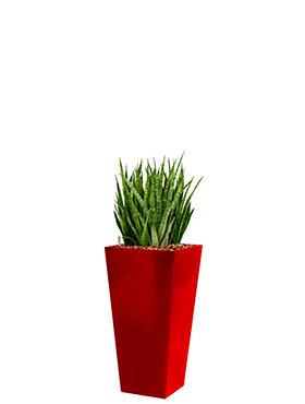 Sansevieria kirkii incl pot Style Square rood