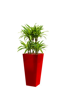 Dracaena lemon lime incl pot Style Square rood