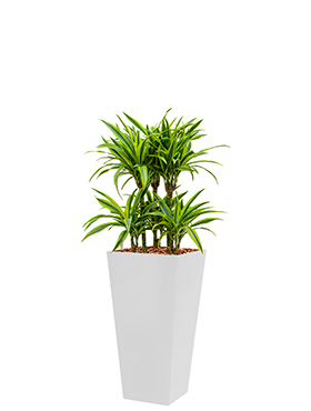 Dracaena lemon lime incl pot Style Square wit