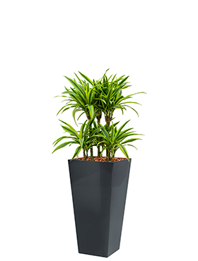 Dracaena lemon lime incl pot Style Square antraciet