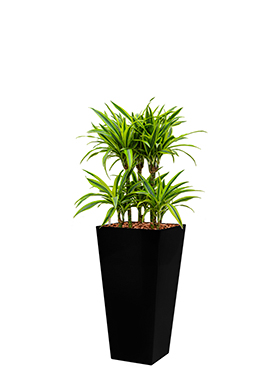 Dracaena lemon lime incl pot Style Square zwart