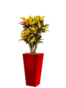 Croton (codiaeum) iceton incl pot Style Square rood