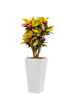 Croton (codiaeum) iceton incl pot Style Square wit
