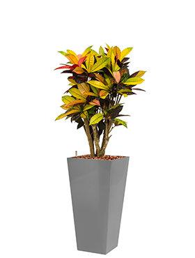 Croton (codiaeum) iceton incl pot Style Square zilver