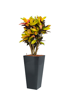 Croton (codiaeum) iceton incl pot Style Square antraciet