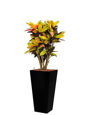 Croton (codiaeum) iceton incl pot Style Square zwart