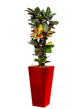 Croton (codiaeum) petra incl pot Style Square rood