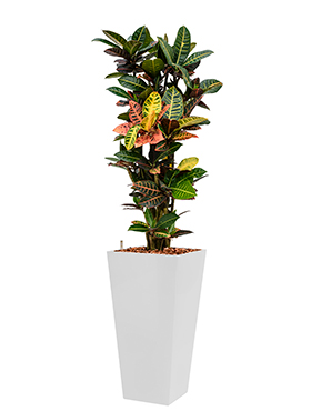 Croton (codiaeum) petra incl pot Style Square wit