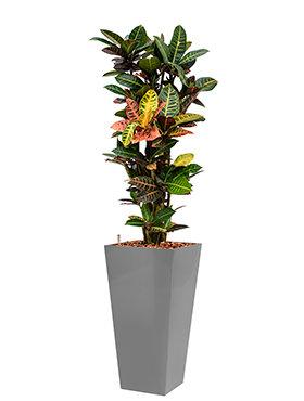 Croton (codiaeum) petra incl pot Style Square zilver
