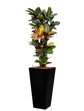 Croton (codiaeum) petra incl pot Style Square zwart